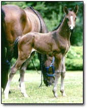 Warmblood Foal Granville
